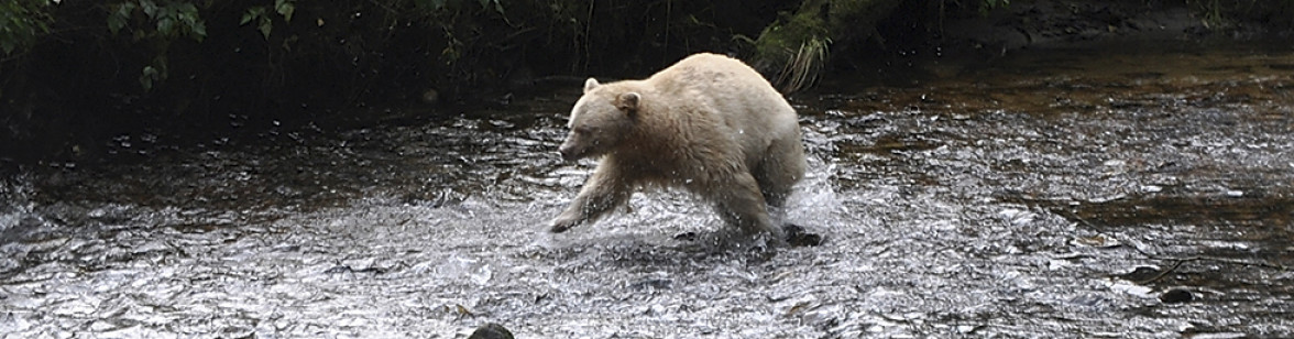 BC_Great_BearRainforest_3